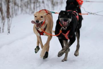 sled dog leaders leader dog sledding two harbors duluth mn rides