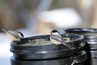 black capped chickadee meat bucket