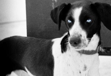 blue eyed eurohound sprint racing sled dog