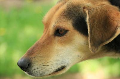 hound cross greyster euorhound sprint racing sled dog alaskan husky sledding dogsledding duluth two harbors mn puppies for sale