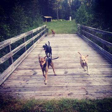 sled dog training summer free running