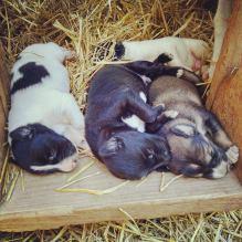 puppies greyster eurohound