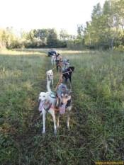 sprint-dogs-training-3