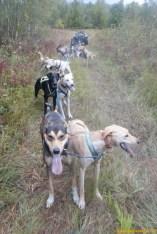 sprint-dogs-training