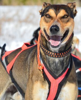 greyster sprint racing sled dog