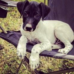 puppy eurohound sled dog