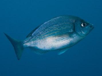 20110626 1144 - enelmar.es - Chopa (Spondyliosoma cantharus), Muelle de Garachico