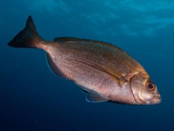 20110702 1127 - enelmar.es - Chopa (Spondyliosoma cantharus), Muelle de Garachico