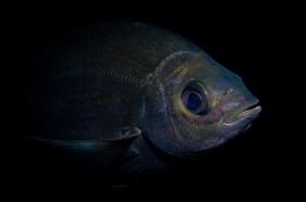 20111204 1510 - enelmar.es - Chopa (Spondyliosoma cantharus), Los Chuchos