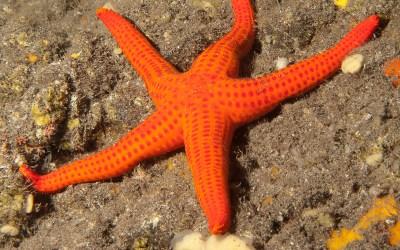 Estrella naranja (Hacelia attenuata)