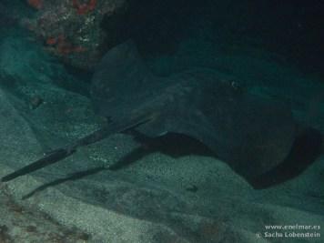 20110214 2102 - Chucho negro (Taeniura grabata), Muelle de La Restinga