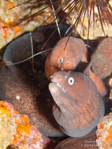 20110217 1228 - El Bajón, Morena negra (Muraena augusti), Murión (Gymnothorax unicolor)