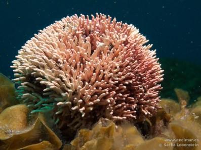 20110219 1243 - Falsa coralina, Punta Restinga