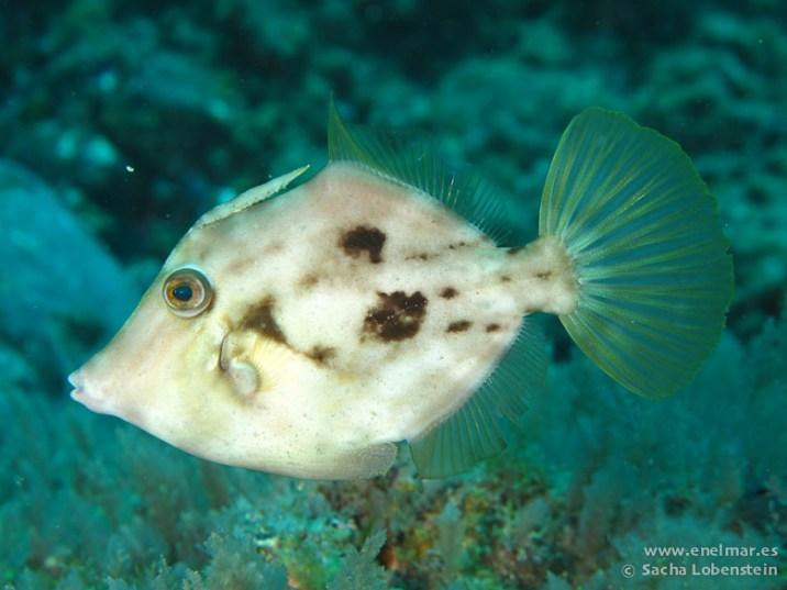 20110313 1039 - Gallo Verde o Gallito (Stephanolepis hispidus), Las Eras