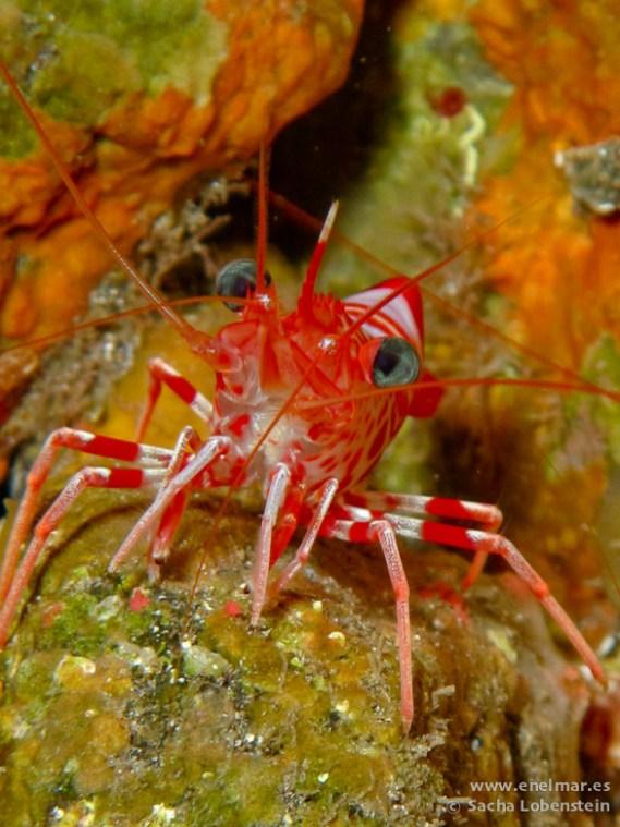 20110313 1108 - Camarón bailador (Cinetorhynchus rigens), Las Eras-2
