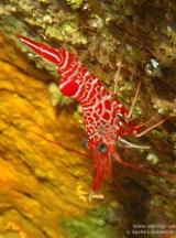 20110312 1138 - Camarón bailador (Cinetorhynchus rigens), Las Eras