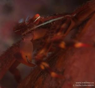 20110319 1109 - Araña de marisco (Percnon gibbesi), El Arco - Garachico