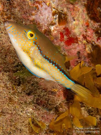 20110413 1624 - Gallinita (Canthigaster capistrata), Garachico