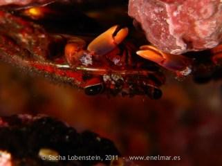20110515 1016 - Araña de marisco (Percnon gibbesi), Las Eras
