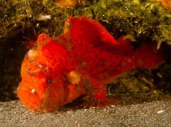 20110528 1654 - Pez esponja o Antenario (Antennarius nummifer), Punta Prieta