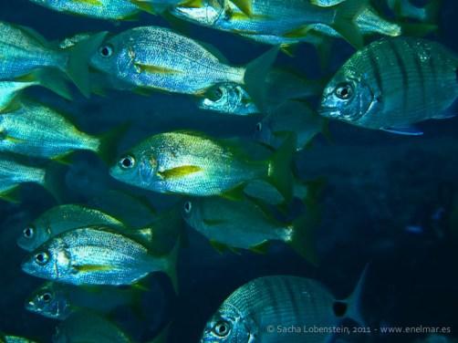 20110529 1125 - Roncador (Pomadasys insicus), Teno
