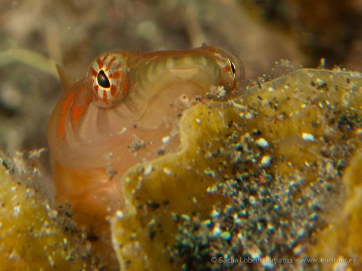 20110530 1100 - Chupasangre (Lepadogaster candollei), Teno