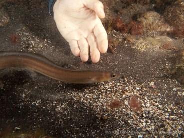 20110608 2226 - Adrián, Congrio balear o de arena (Ariosoma balearicum), Garachico