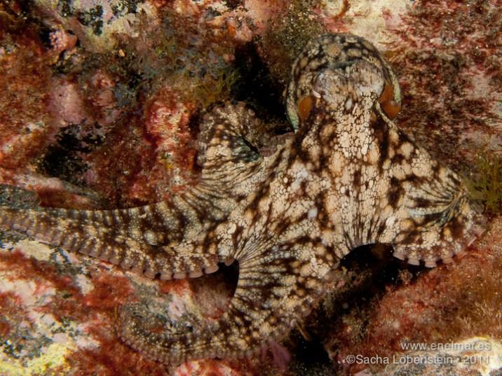 20110702 1146 - Garachico, Pulpo (Octopus vulgaris)-2