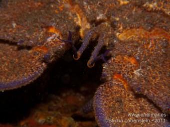 20110728 1601 - Langosta canaria (Scyllarides latus), Las Eras