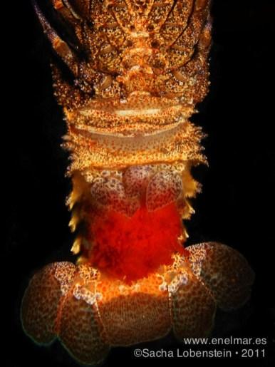 20110728 1604 - Langosta canaria (Scyllarides latus), Las Eras
