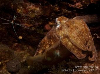 20110728 1612 - Choco (Sepia officinalis), Las Eras-2