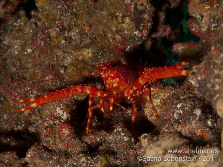 20110731 1057 - Cigala canaria (Enoplometopus antillenensis), Teno