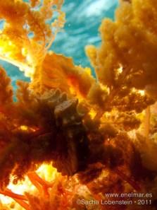 20110731 1208 - Caballito de mar (Hippocampus hippocampus), Teno
