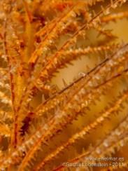 20110821 1139 - Coral negro, Teno