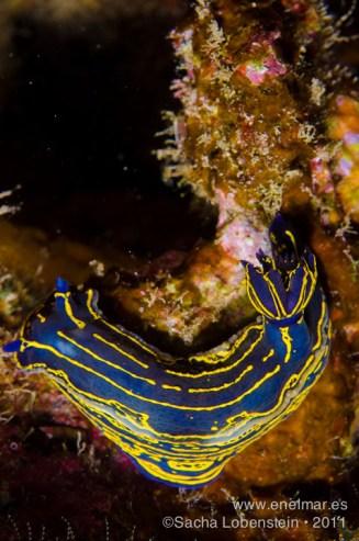 20111012 1550 - Babosa de mar - Nudibranquio (Hypselodoris picta webbi), Las Eras-2