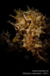 20111012 1837 - Caballito de mar (Hippocampus hippocampus), Tabaiba