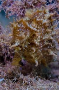 20111012 1838 - Caballito de mar (Hippocampus hippocampus), Tabaiba