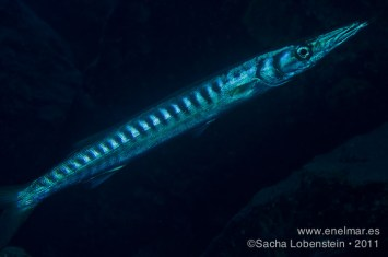 20111012 1912 - Bicuda - Barracuda (Sphyraena viridensis), Tabaiba