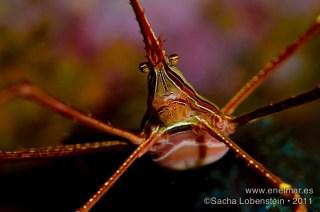 20111015 1716 - Cangrejo araña (Stenorhynchus lanceolatus), Muelle de Porís de Abona