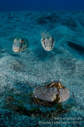 20111022 1132 - Cangrejo de arena (Cryptosoma cristatum), Tamboril (Sphoeroides marmoratus), Teno-3