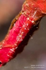 20111119 1004 - enelmar.es - Gamba (sin identificar), Gorgonia roja (Leptogorgia ruberrima), Punta Prieta