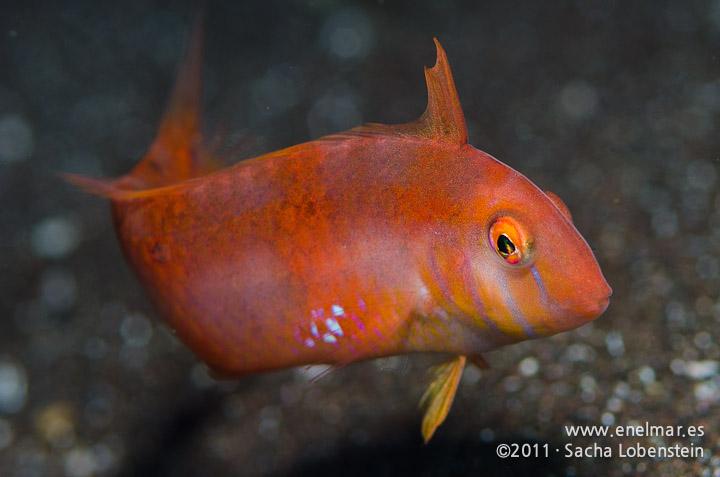 20111119 1019 - enelmar.es - Pejepeine (Xyrichthys novacula), Punta Prieta