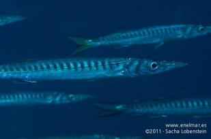 20111119 1051 - enelmar.es - Bicuda - Barracuda (Sphyraena viridensis), Punta Prieta