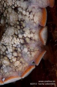 20120114 1032 - enelmar.es - Muelle de Garachico, Pulpo (Octopus vulgaris)-2