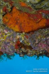 20120115 1110 - enelmar.es - Antenario o Pez esponja (Antennarius nummifer), Las Eras