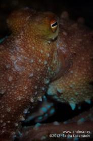 20120125 2134 - enelmar.es - Fabiana (Octopus macropus), Las Eras