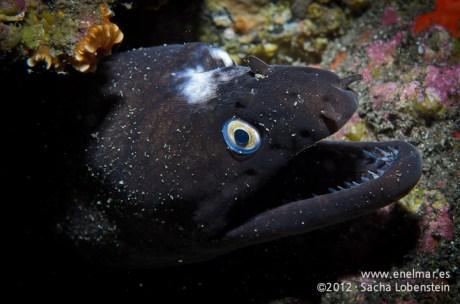 20120202 1746 - enelmar.es - Morena negra (Muraena augusti), Punta Prieta