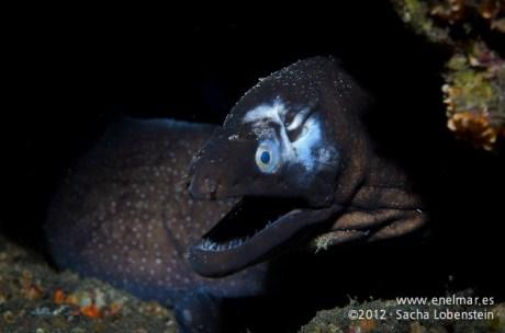 20120202 1747 - enelmar.es - Morena negra (Muraena augusti), Punta Prieta