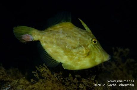 20120202 1812 - enelmar.es - Gallo Verde o Gallito (Stephanolepis hispidus), Piojo - Cochinilla (Nerocila armata), Punta Prieta-3
