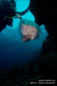 20120211 1110 - enelmar.es - Medusa (Escifomedusa), Muelle de Porís de Abona